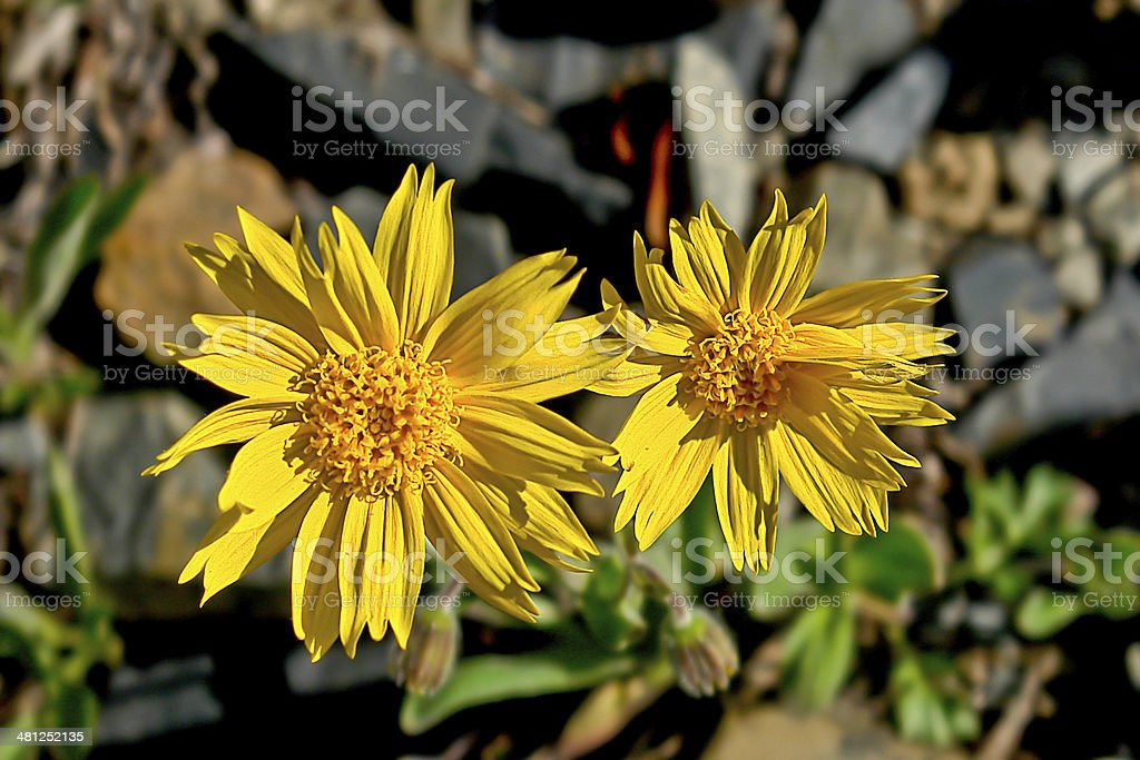 Mountain arnica flowers covered tundra. stock photo