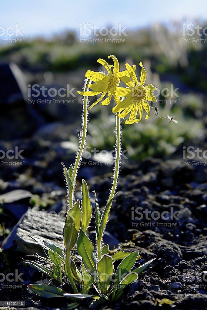 arnica flores montanha coberta de tundra. - foto de acervo