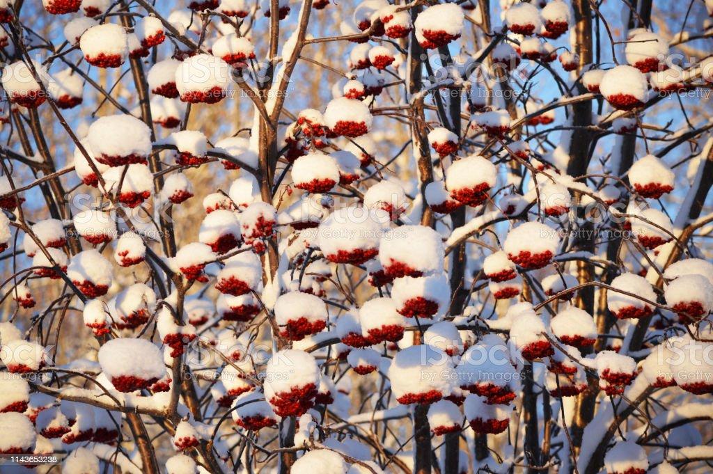 Bagas vermelhas da cinza de montanha cobertas com a neve em Fairbanks Alaska - foto de acervo