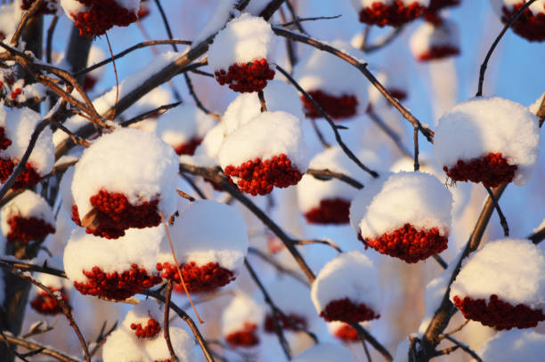 mountain ash red berries covered with snow in fairbanks alaska - alaska us state stock photos and pictures
