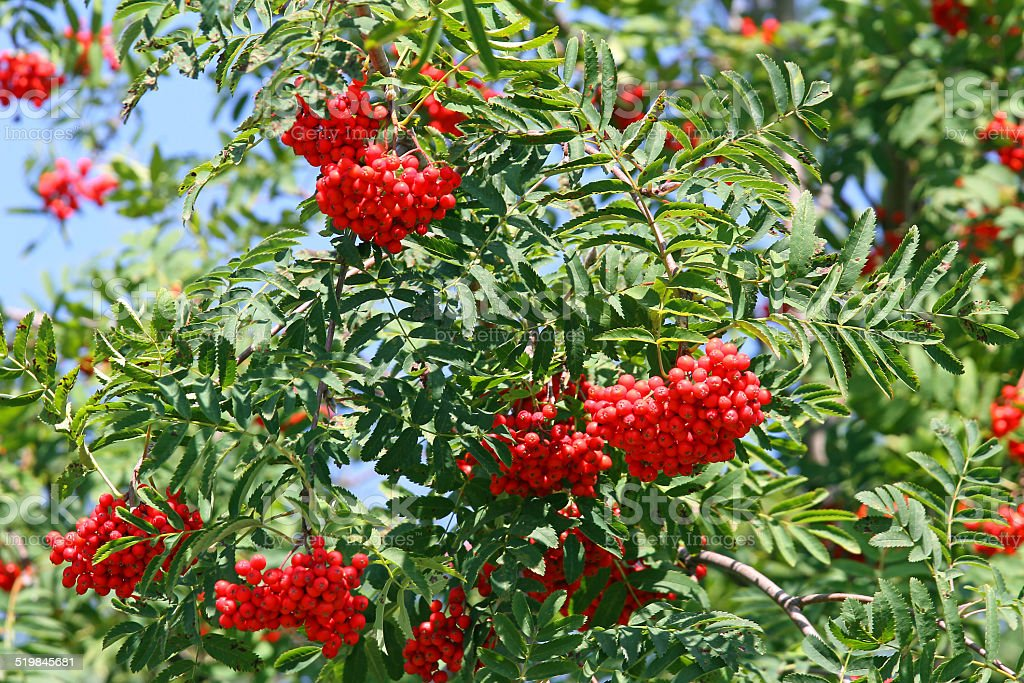 Mountain ash Sorbus Bush with large red berries but poisonous stock photo