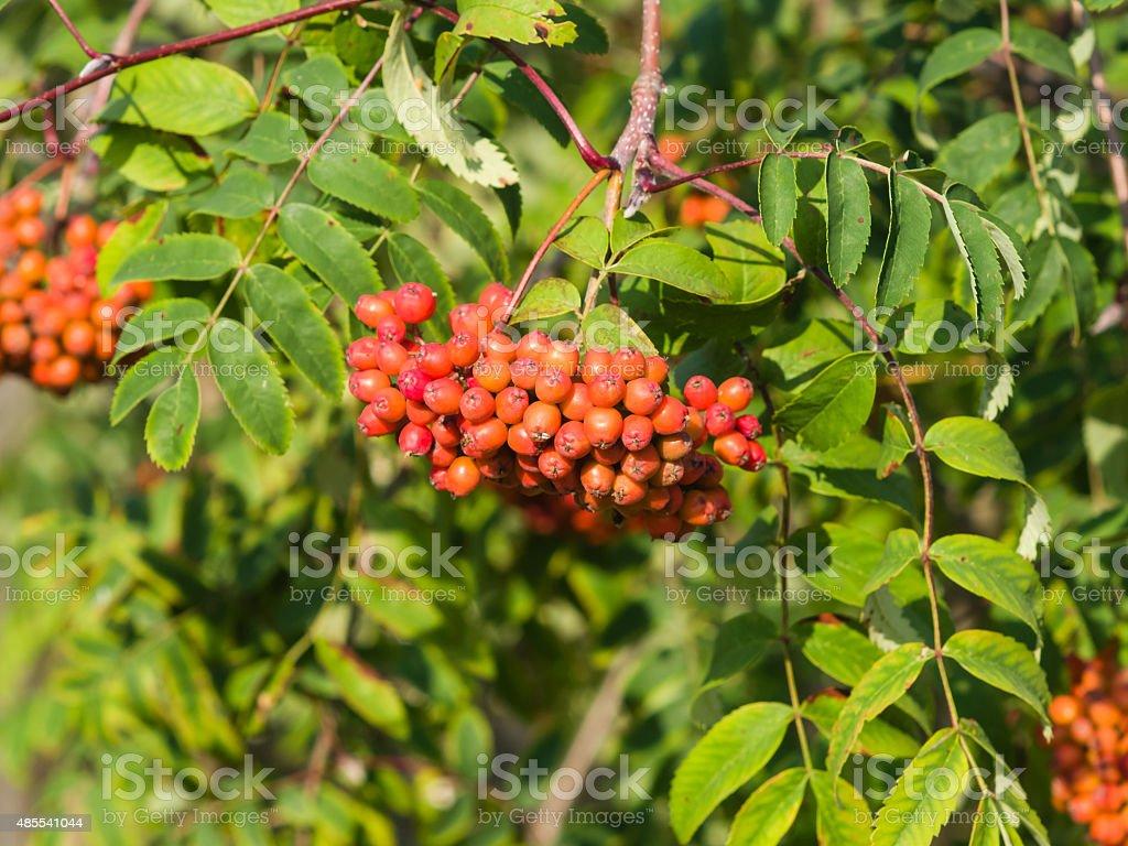 Mountain ash, Sorbus tree with ripe berries, macro Mountain ash, Rowan, Sorbus tree with ripe berries, macro, selective focus, shallow DOF 2015 Stock Photo