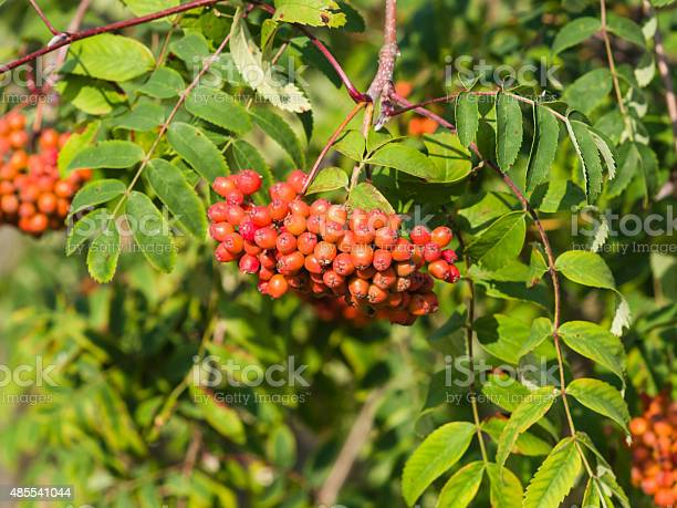 Mountain Ash Sorbus Tree With Ripe Berries Macro Stock Photo - Download Image Now