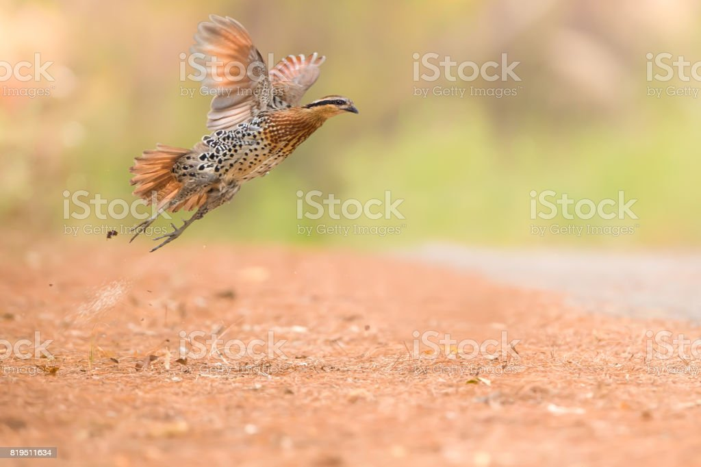 Mountain Bamboo Partridge, Male (Bambusicola fytchii) is flying. stock photo