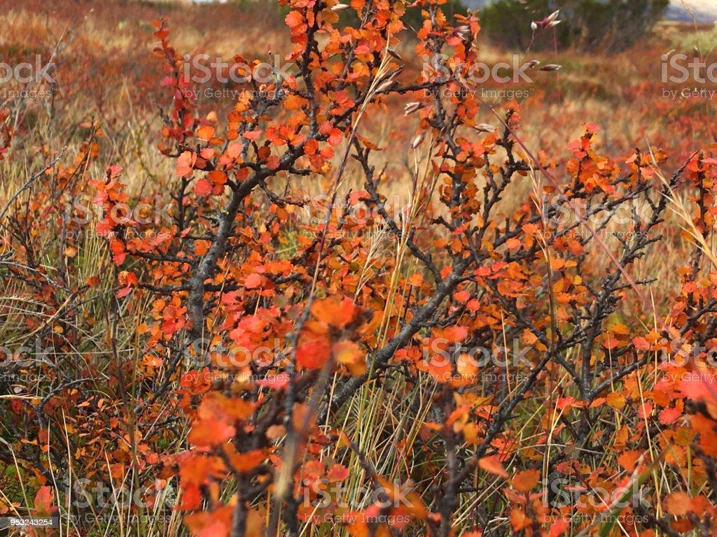 Mountain Birch tree stock photo