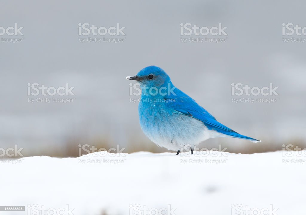 Mountain Blue bird in Snow -YNP stock photo