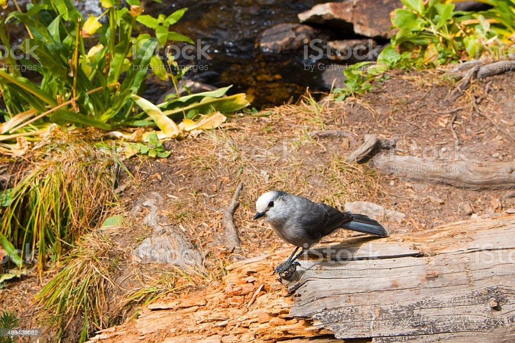 Mountain Bluebird at Brainard Lake and the Indian Peaks stock photo