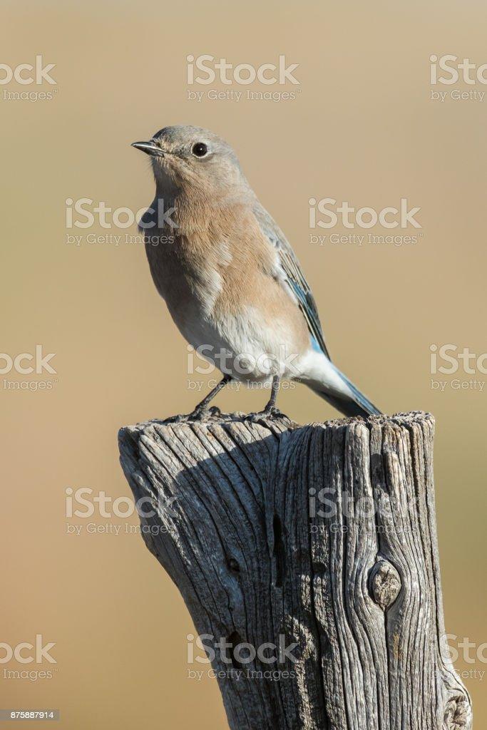 Mountain Bluebird (Female), Black Mesa, OK stock photo