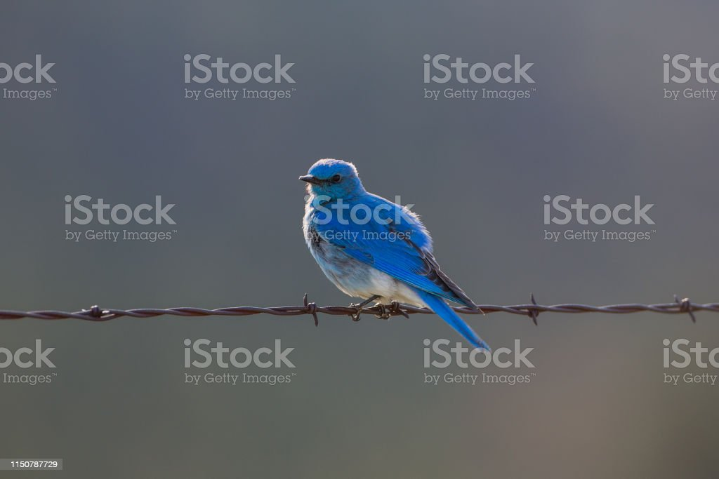 Mountain Bluebird, Custer State Park - Royalty-free Barbed Wire Stock Photo