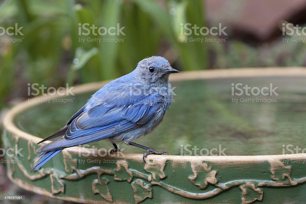 Mountain bluebird on birdbath Colorado stock photo