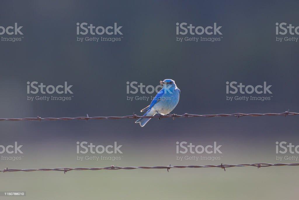 Mountain Bluebird - Royalty-free Blue Stock Photo