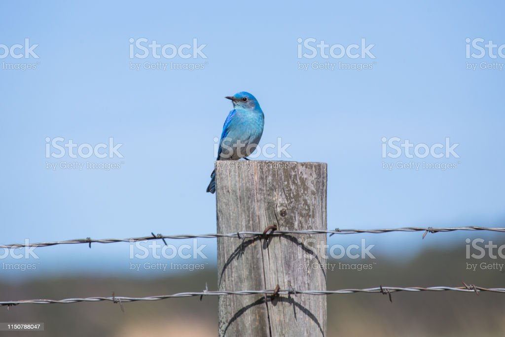 Mountain Bluebird - Royalty-free Animal Wildlife Stock Photo