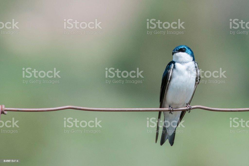 Mountain Bluebird stock photo