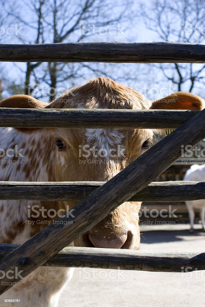 Mountain cattle royalty-free stock photo
