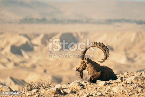 Nubian goat with large horns on steep mountain side. Closeup