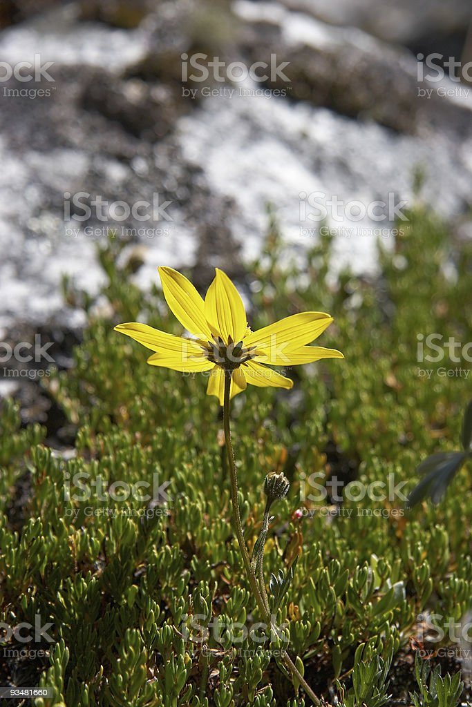 Mountain chamomile royalty-free stock photo