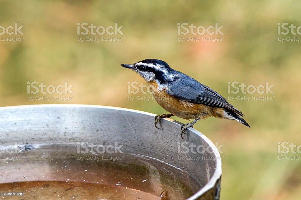 Mountain chickadee perched on bath. stock photo