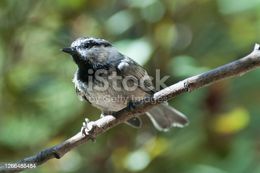 The Mountain Chickadee (Poecile Gambeli) is a small songbird in the tit family Paridae.  Adults have a black cap joining a black stripe behind the eyes and distinctive white eyebrows. Their backs and flanks are gray with gray underparts.  They have a short black bill and a black bib.  The mountain chickadee inhabitants the mountainous regions of the western United States, ranging from the southern Yukon to California and the Rocky Mountain States.  They are monogamous and produce 1 to 2 broods per year.  The young stay in the nest for 21 days and are fed by both parents.  During the summer and breeding season their primary diet is insects.  Conifer and other seeds are part of the diet throughout the year.  The call of the mountain chickadee is a noisy chick-adee-dee-dee.  This chickadee was photographed while perching on a branch at Walnut Canyon Lakes in Flagstaff, Arizona, USA.