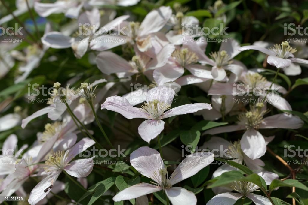 Mountain clematis (Clematis montana) - Royalty-free Backgrounds Stock Photo