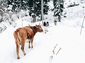 Black, white and ginger mountain cows on the background of snow drifts in the forest