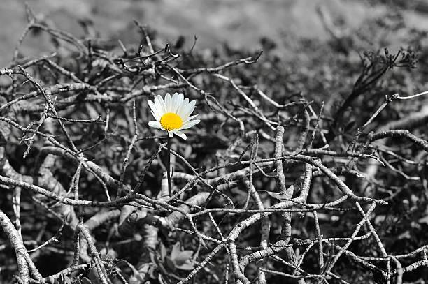 Mountain Daisy stock photo