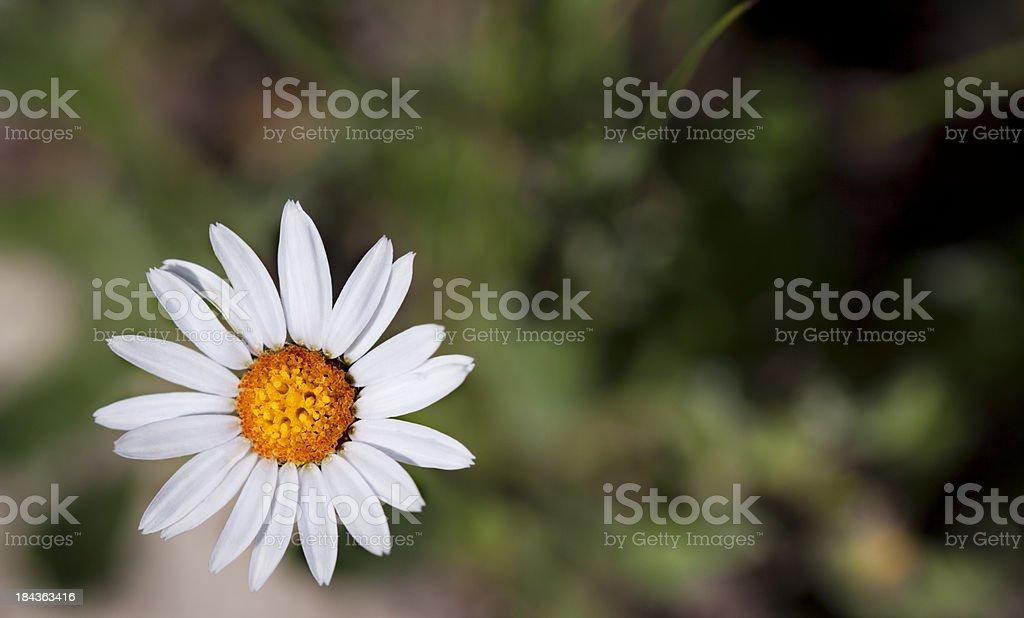 Mountain Daisy Wild Flower stock photo