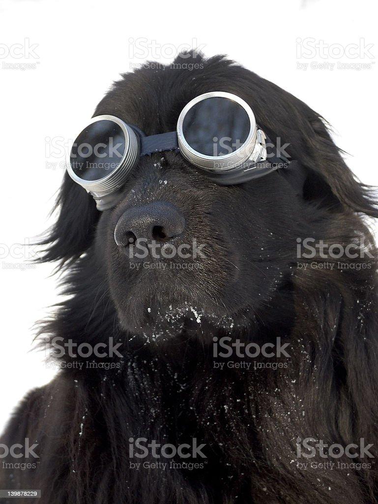 Mountain dog royalty-free stock photo