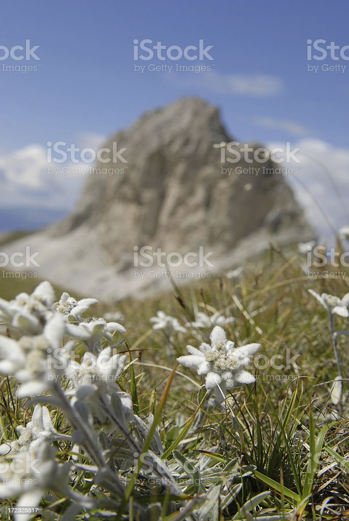 Mountain Edelweiss stock photo