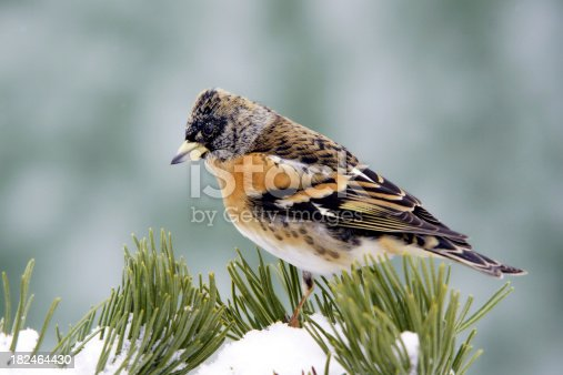 Mountain fink on a pinewood branch.Please see more than 100 songbird pictures of my Portfolio.Thank you!