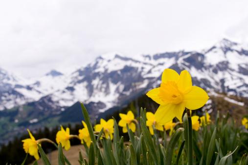 Mountain flowers: daffodil