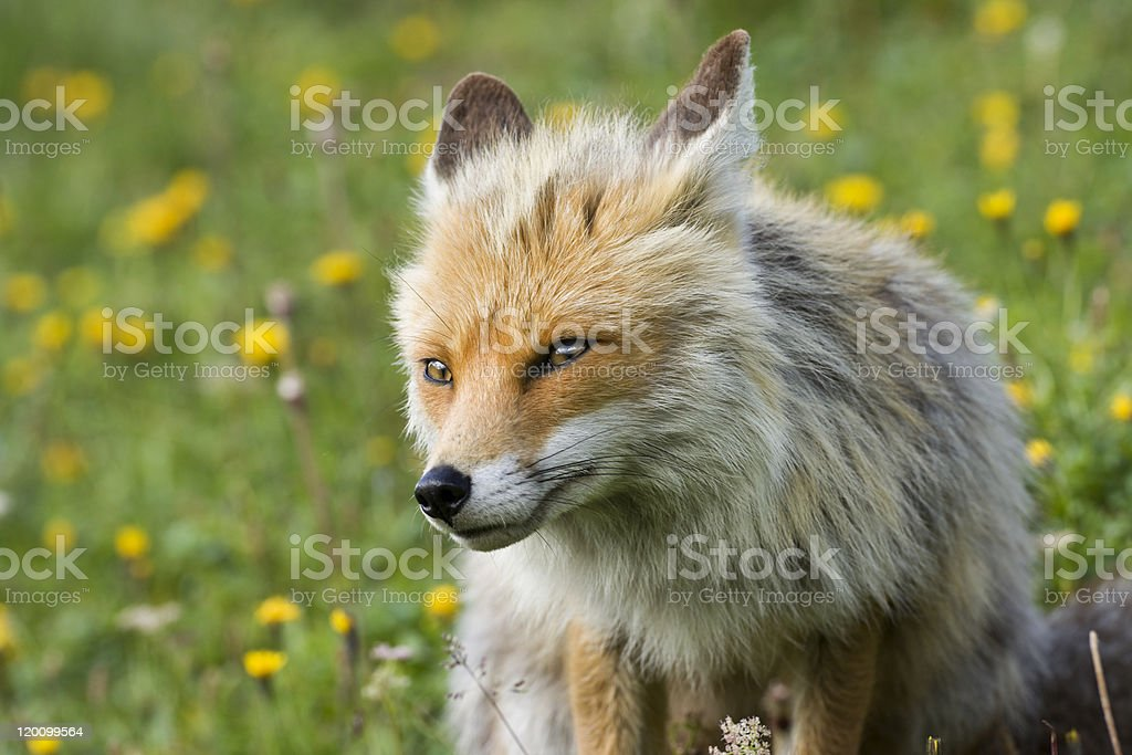 mountain fox in a alpine meadow royalty-free stock photo