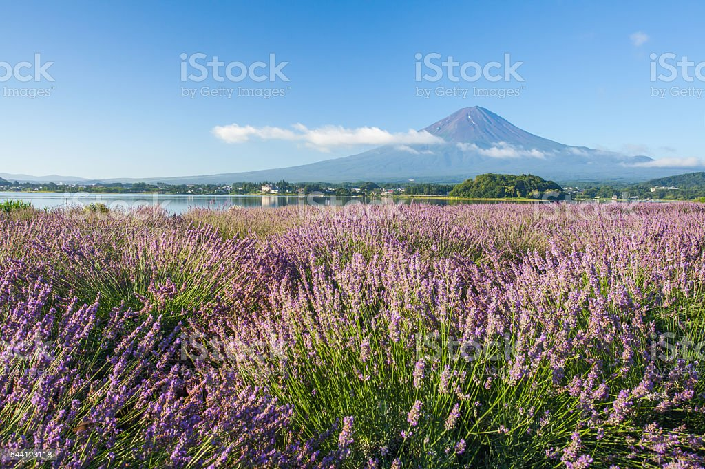 Mountain fuji and  purple color of lavender stock photo