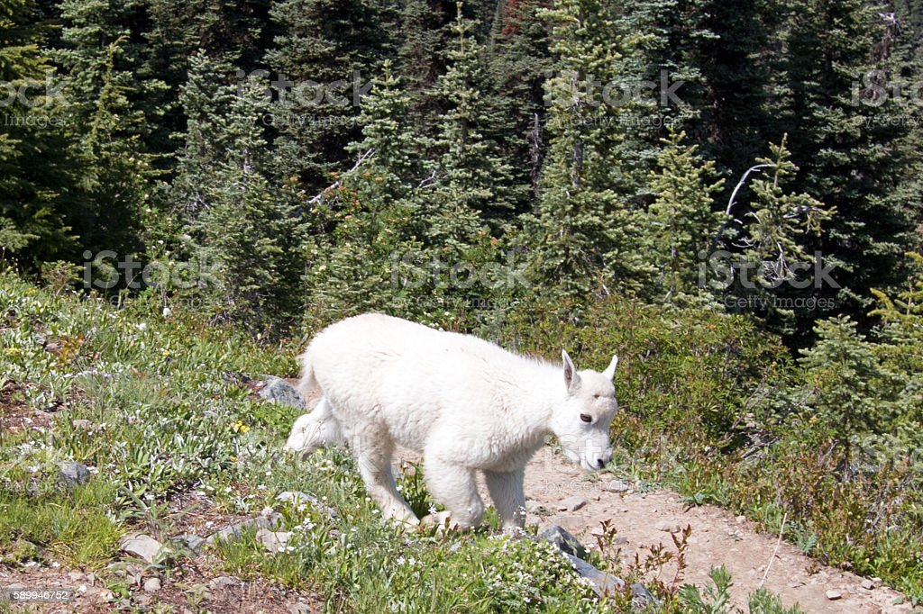 Mountain Goat - Baby kid on Hurricane Hill path stock photo