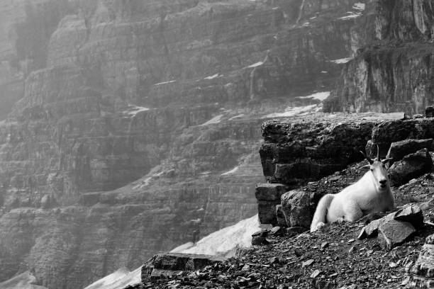 Mountain Goat Banff National Park Landscape featuring a mountain goat from the Plain of the Six Glaciers.  Banff National Park.  Monochrome image. mt victoria canadian rockies stock pictures, royalty-free photos & images