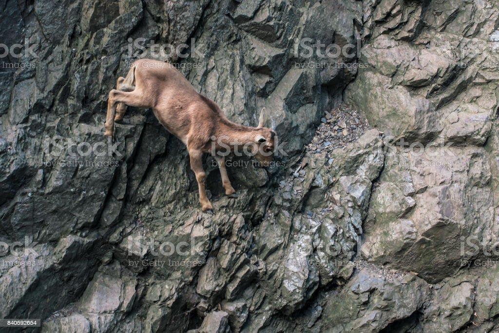Mountain goat climbing on rock wall. stock photo
