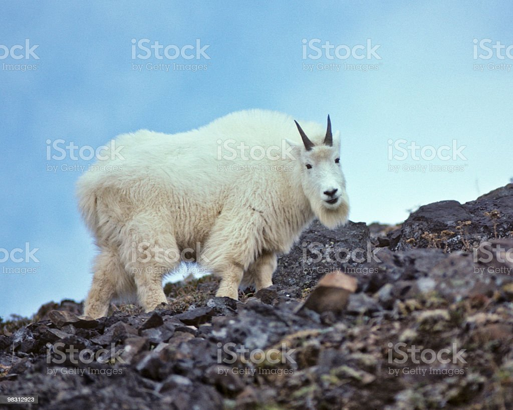 Mountain Goat Climbing on Rocks royalty-free stock photo