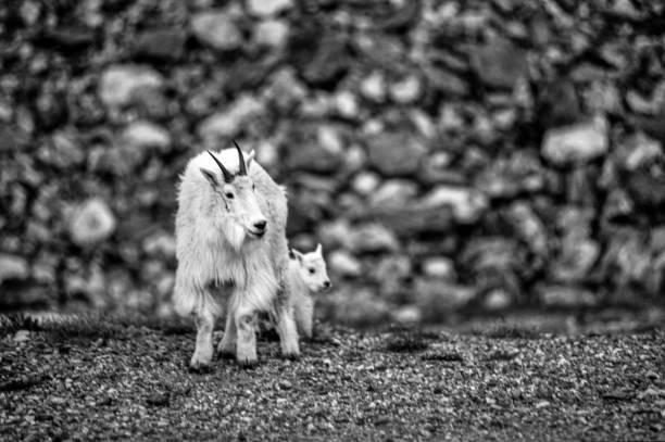 Mountain Goat Colorado stock photo