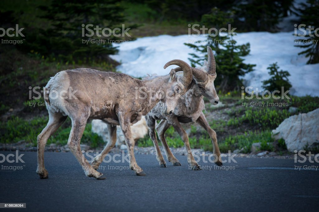 Mountain goat eating grass at Glacier National Park stock photo