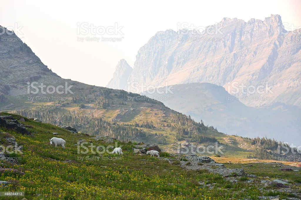 Mountain Goat Family in Montana stock photo