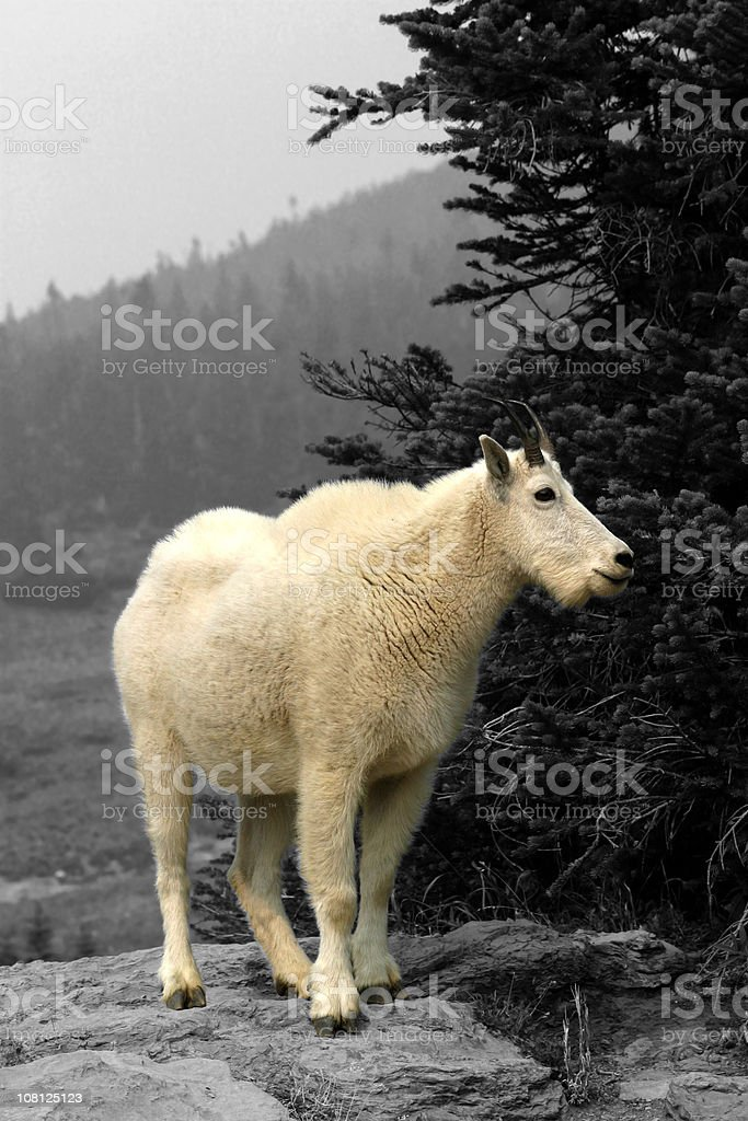 Mountain Goat, Glacier National Park royalty-free stock photo
