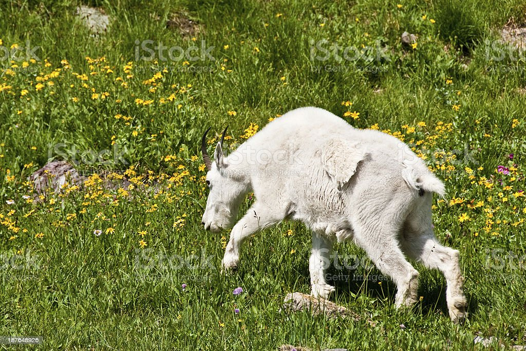 Mountain Goat Grazing in an Alpine Meadow royalty-free stock photo