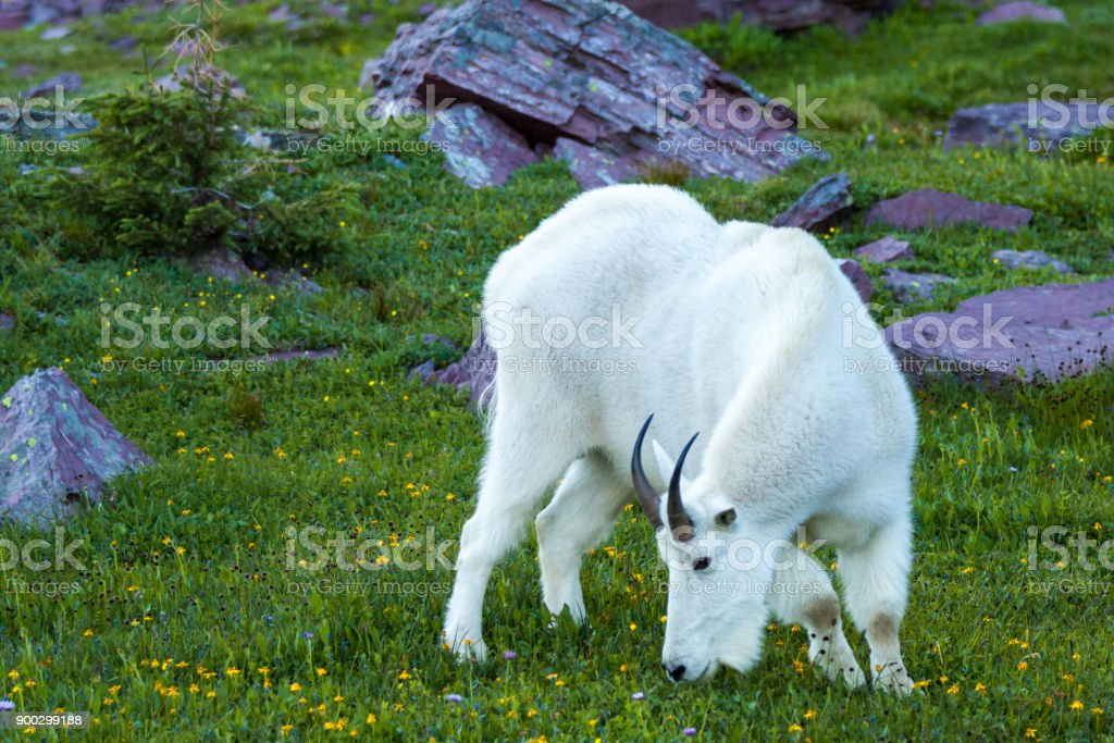 mountain goat in agreen alpine meadow, Glacier National Park, Mo stock photo