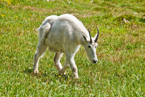 Mountain Goat In An Alpine Meadow Stock Photo - Download Image Now