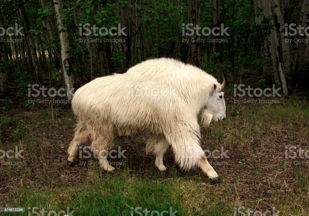 Mountain goat in forest stock photo