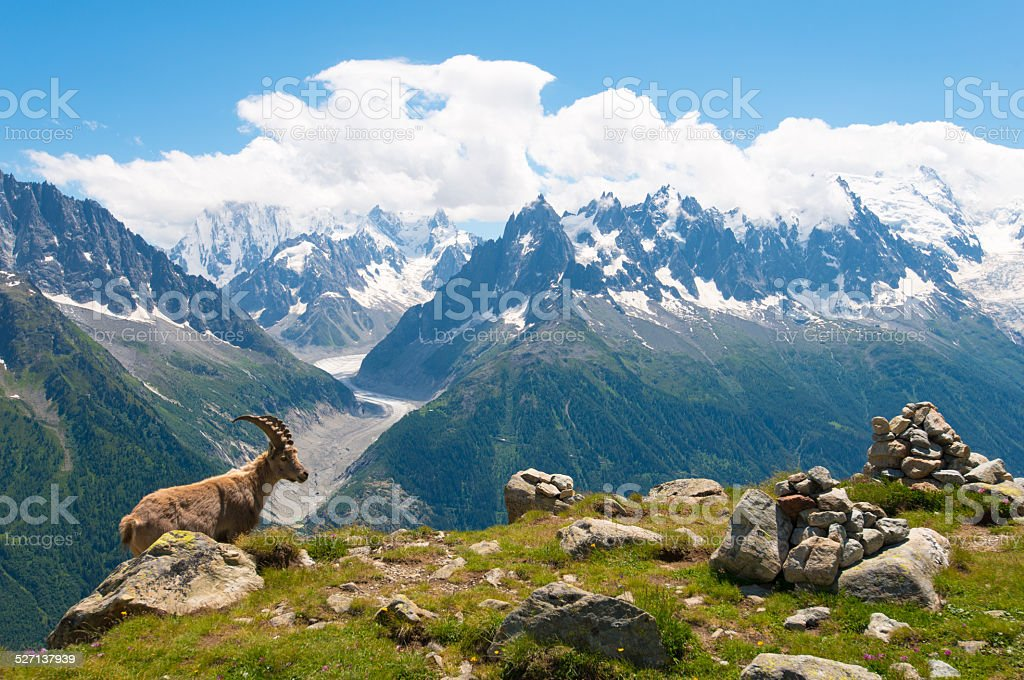 Mountain Goat in front of Mont Blanc panorama in French Alps stock photo