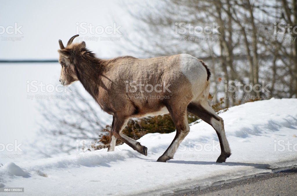 Mountain goat in National Park walk away from road foto stock royalty-free