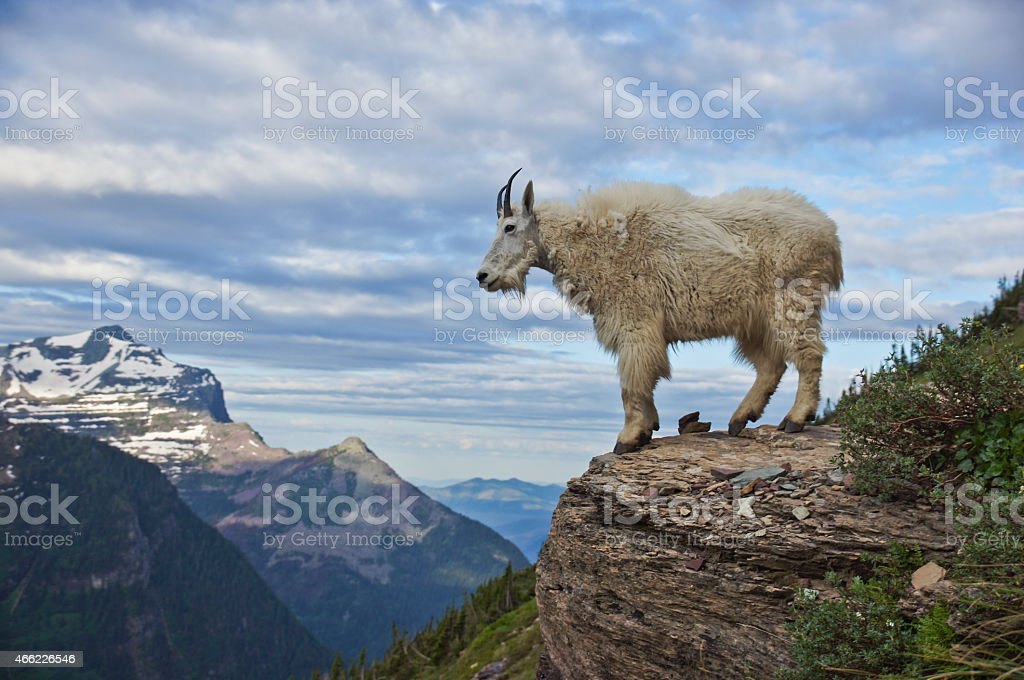 Mountain Goat in the Rocky Mountains in Glacier National Park stock photo