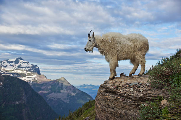 mountain goat in the rocky mountains in glacier national park - us glacier national park stock pictures, royalty-free photos & images