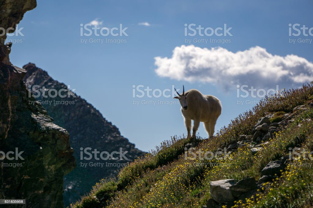 Mountain Goat in Wildflowers stock photo