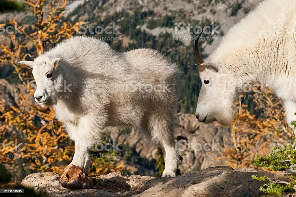 Mountain Goat Kid and Nanny - Royalty-free Alpine Lakes Wilderness Stock Photo